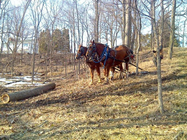 Harvesting trees with horses